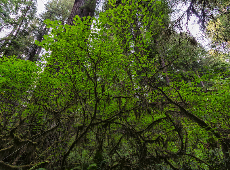 The Redwood Canopy