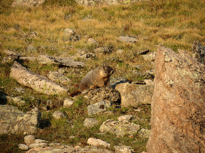 Marmot packing on the pounds for winter