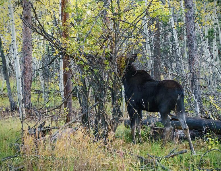 Moose Cow #2