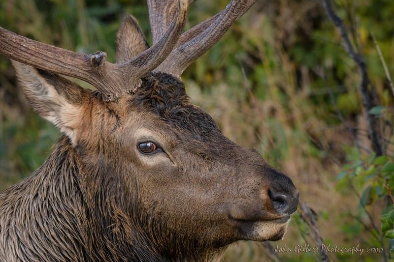 Elk Bull
