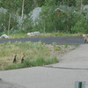 Cyote on right with her young-uns on the left, in front of the condo