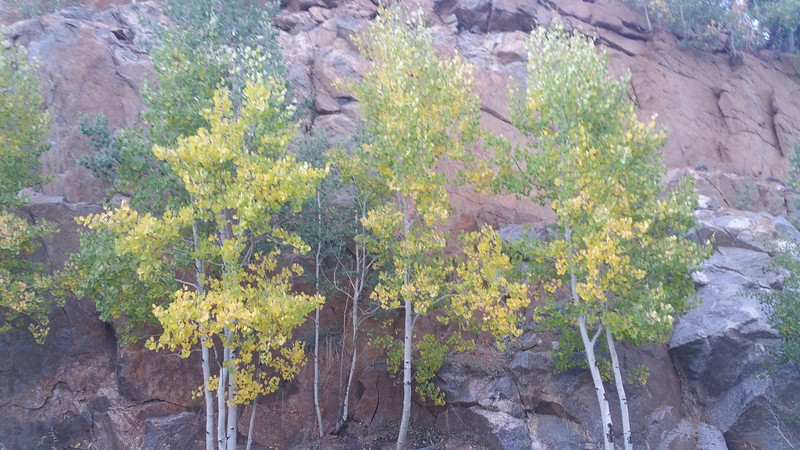 Aspen turning before the red rocks