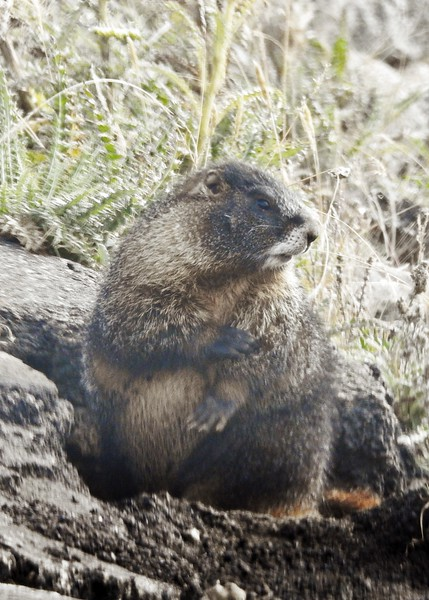local marmot wondering when tourists will stop