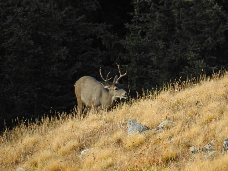 local mule deer at the edge of the trees