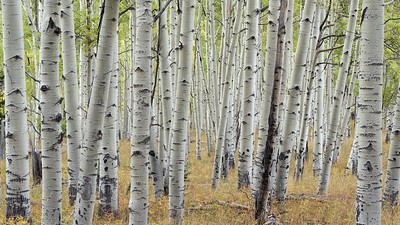Stacked Aspens
