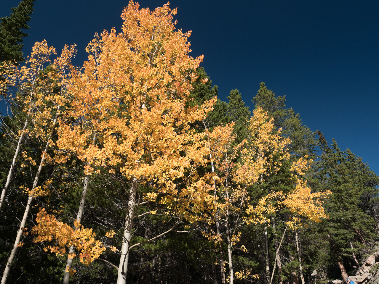 Bright Yellow Aspens