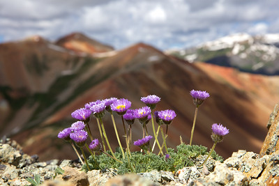 Asters on the edge
