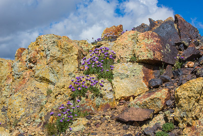 Mountain Asters