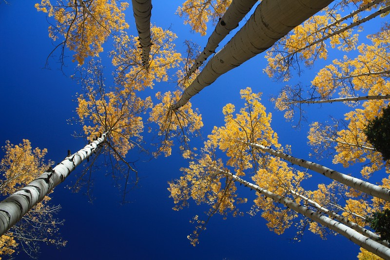 Towering aspen