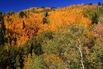 Hillsides on fire with aspens.