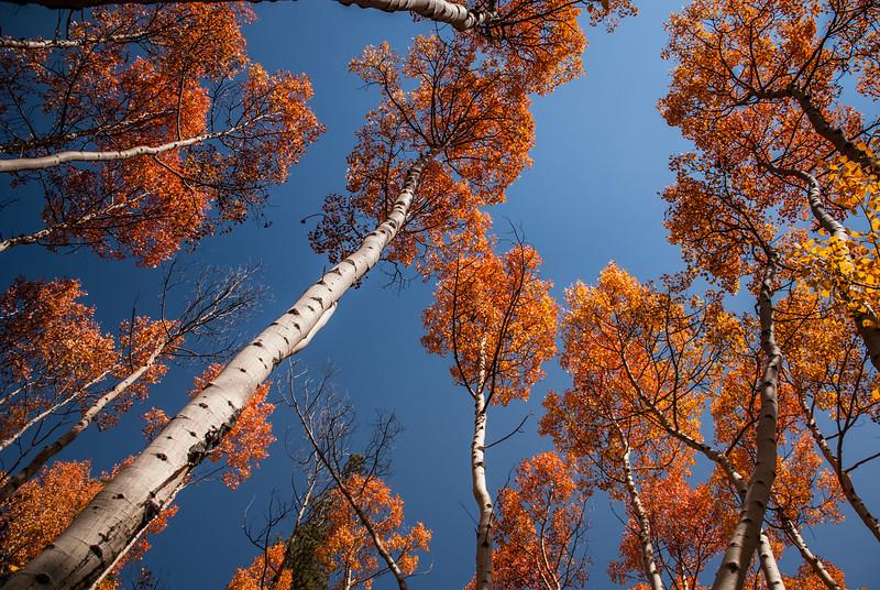 Up Orange Aspen