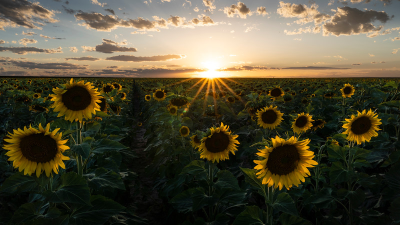 A field of sunflowers east of Denver after a hot day in August.