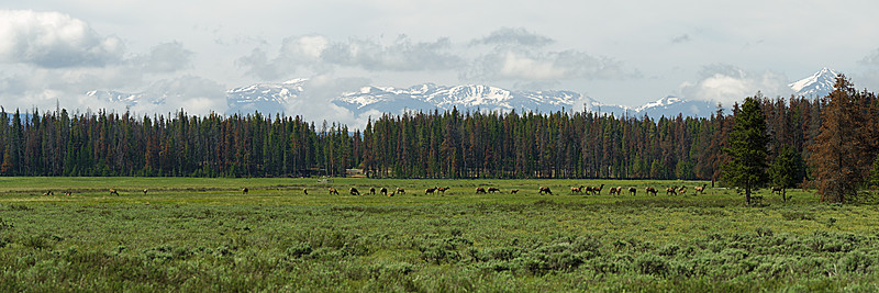 Elk herds are a common sight along Trail Ridge Road in the Kawuneeche Valley.