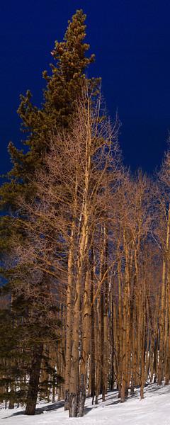 Aspen and Fir<br /> March 1, 2011<br /> Vail, Colorado<br /> (1:2.5 aspect ratio)