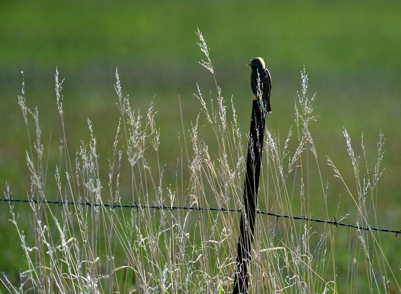 Bobolink, Carpenter Ranch, Hayden, CO