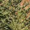Single Pinecone on small tree
