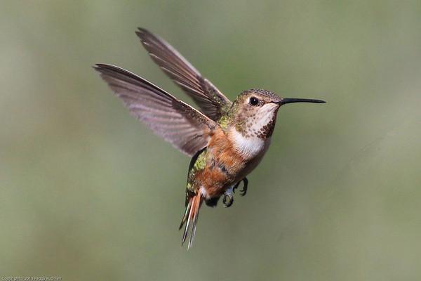 Colorado Hummingbirds