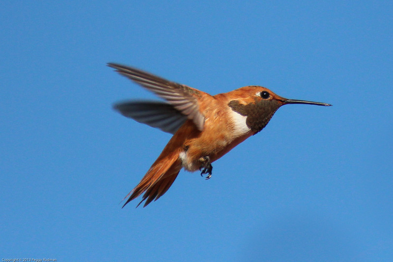 Rufous Hummingbird, male