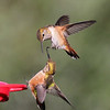Those Rufous are mean!