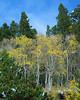 Colorado Gold Aspen trees and a few fallen Aspen leafs.<br /> Rollins Pass Colorado.<br /> Daniel P Woods
