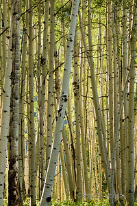 Sometimes the light looks like I've tweaked it or tinted or saturated it ... but here is a shot with my 300mm looking into one of the largest organisms on the planet ... a networked aspen forest.  With the sun creeping into the forest and the backlighting, it picks up more green and gold the further it penetrates into the forest.  The 300mm serves to flatten the picture and make it appear more two dimensional ...