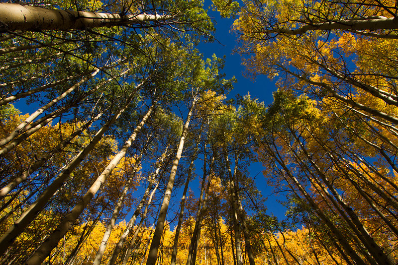 "I wanted to take a different look at this ""typical"" shot of aspens in Fall.  Using the parallax distortion of my wide angle I'm able to get the trees all leaning in with a frame along the top, but almost straighten out the ridge that was probably 50 feet above me (this is looking uphill)."