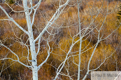 And ... this is my favorite of my series, I like the complete weaving of the aspen into the willows and the semi-symmetry of this picture.