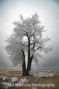 Lone frost tree