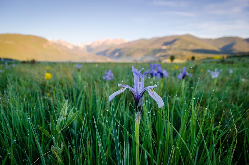 Wild Iris After Dawn