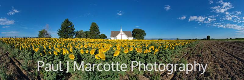 Panoramic sunflowers