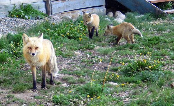 Mama fox sees me