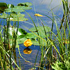 Yellow water  lilies floating on the lake.
