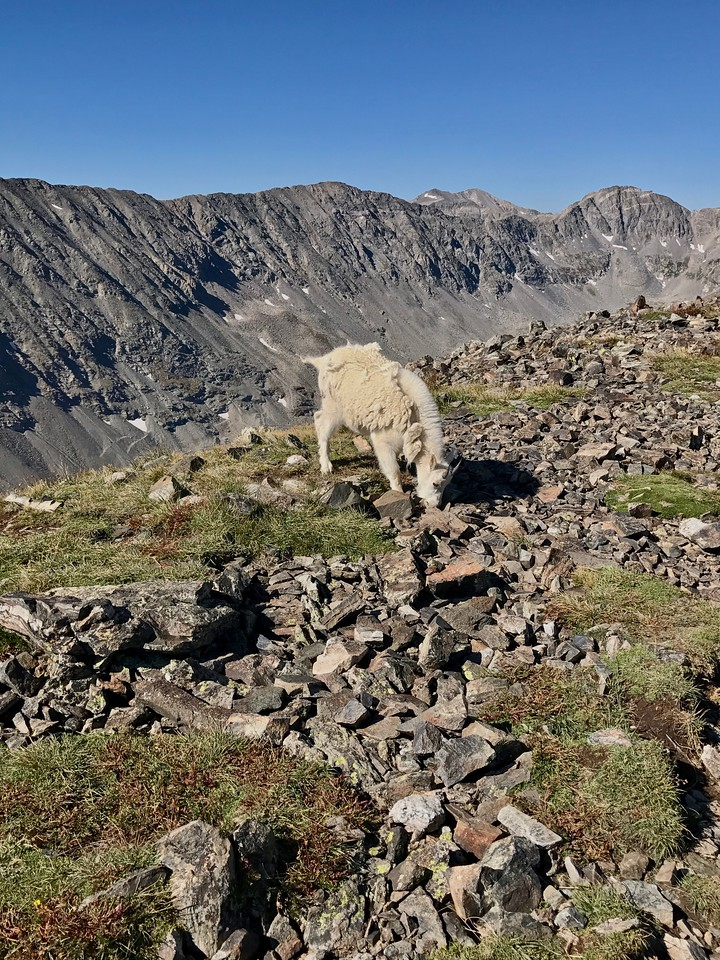 Young rocky mountain goat next to the trail.