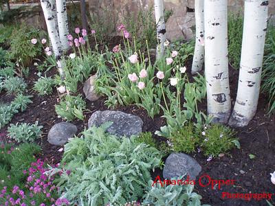 Aspens in Aspen