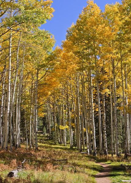 Kachina Trail Aspens #2
