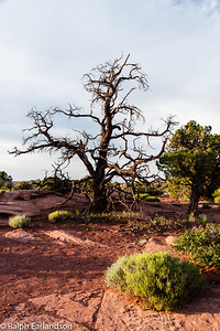 A bare tree stands sentinel at Grandview Point in the Island in the Sky section.