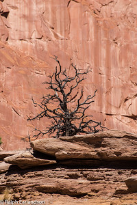 A dead tree in Capitol Reef National Park.
