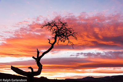 A lone juniper tree is silhouetted at sunset.