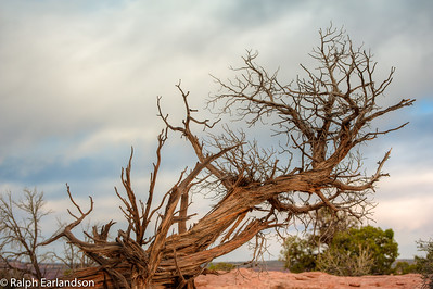 A tree skeleton on Dead Horse Point.