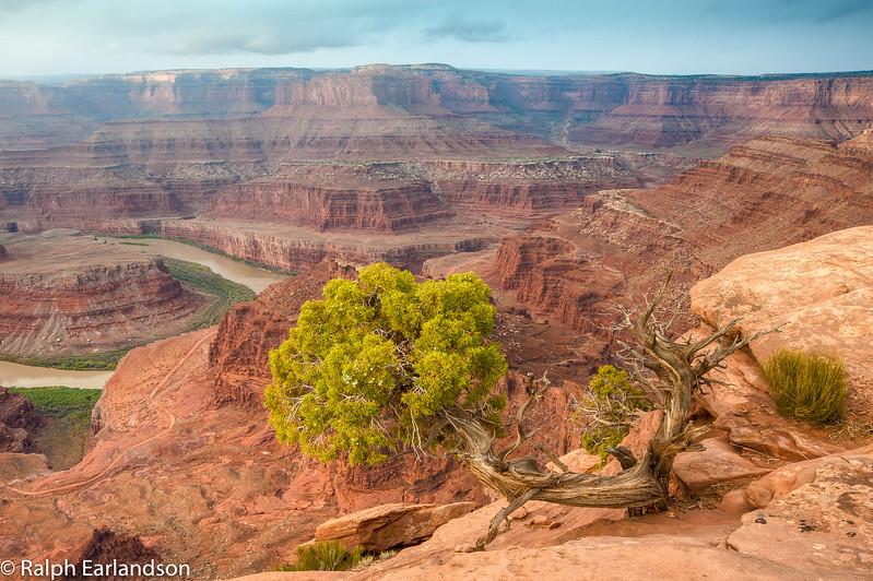 A juniper tree is a sentinel overlooking the Colorado River below.