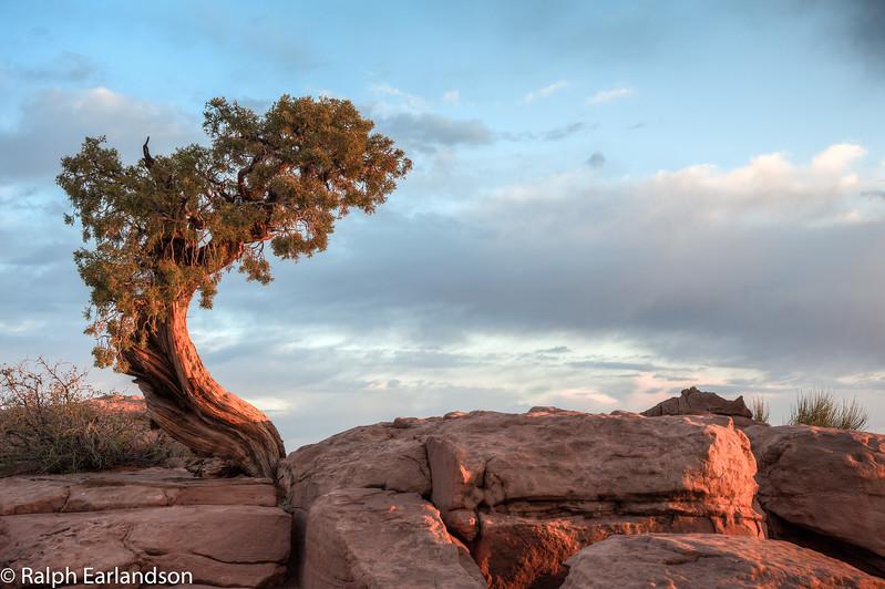 The first rays of the sun illuminate a juniper tree.