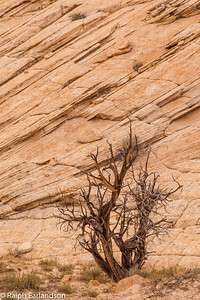 Bare tree and tilted sandstone beds from ancient sand dunes.