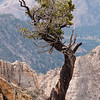A bristlecone pine hangs on for dear life.