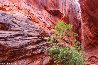 A tree stands in contrast to the slot canyon walls glowing with late-afternoon light reflected from cliffs outside.