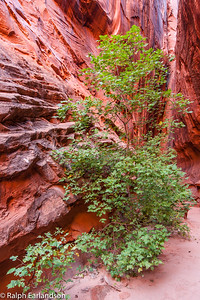 With green leaves a tree stands in contrast to the slot canyon walls glowing with late-afternoon light reflected from cliffs outside.