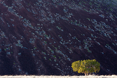 Lone Juniper, San Francisco Volcano Field