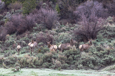 Elk on public lands near Grand Junction, Colorado. Photo by Mitch Tobin/The Water Desk.