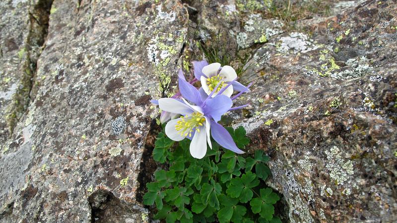 Columbine, Colorado state flower.