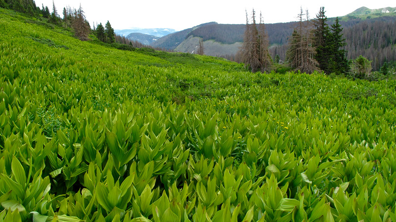 Ocean of corn lilly to wade through.