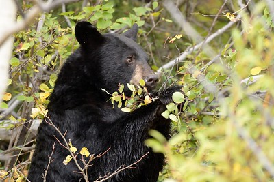 Black Bear Berry Feast